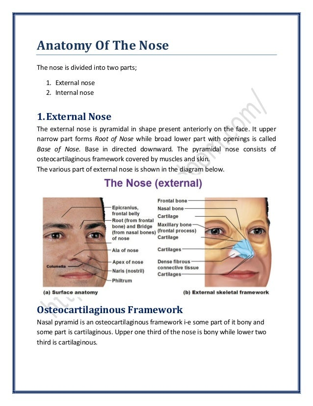 Anatomy Of The Nose Surgicomed