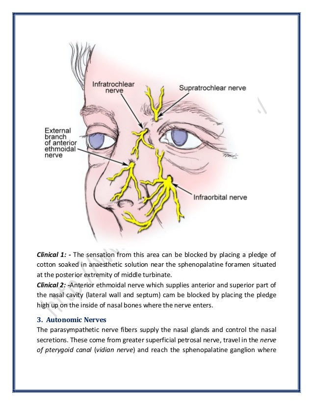 Anatomy of the Nose | SurgicoMed.com