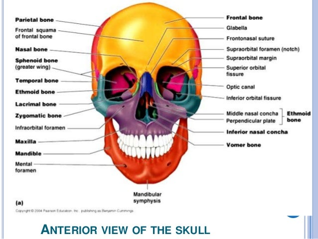 Orbital Bone Anatomy Diagram - Online Schematic Diagram •