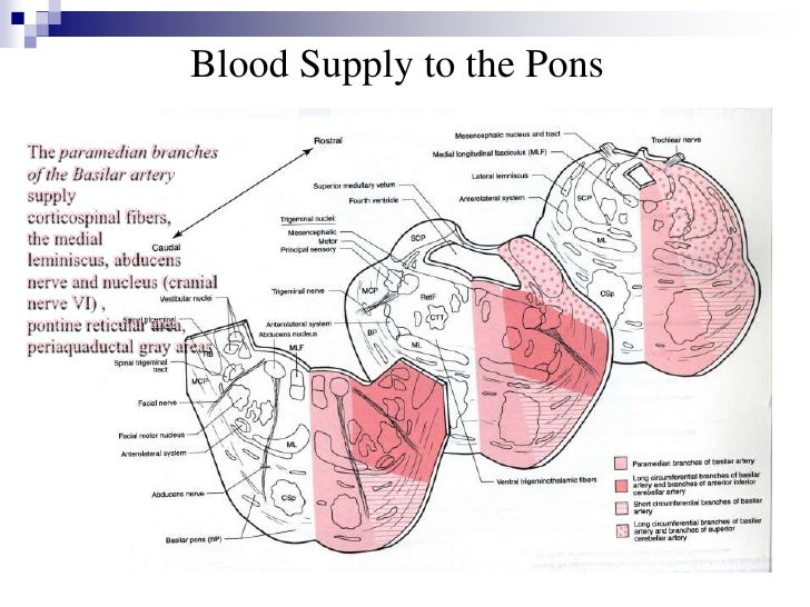 Anatomy of the pons