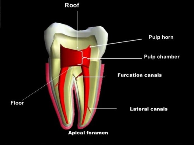 Anatomy Of The Pulp Space And Access Cavity