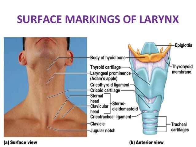 Anatomy Of The Respiratory Tract