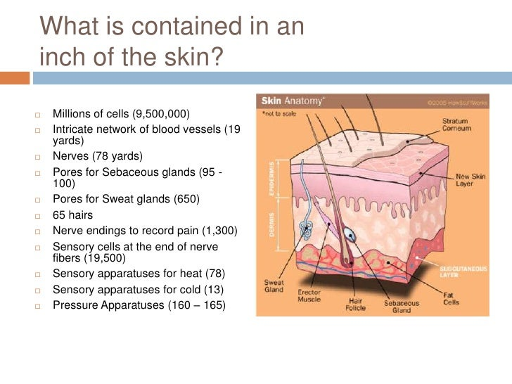 Anatomy and physiology of the skin College paper Service ...