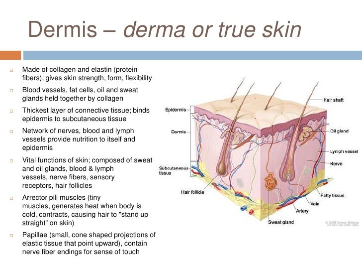 Anatomy Of The Skin Lecture