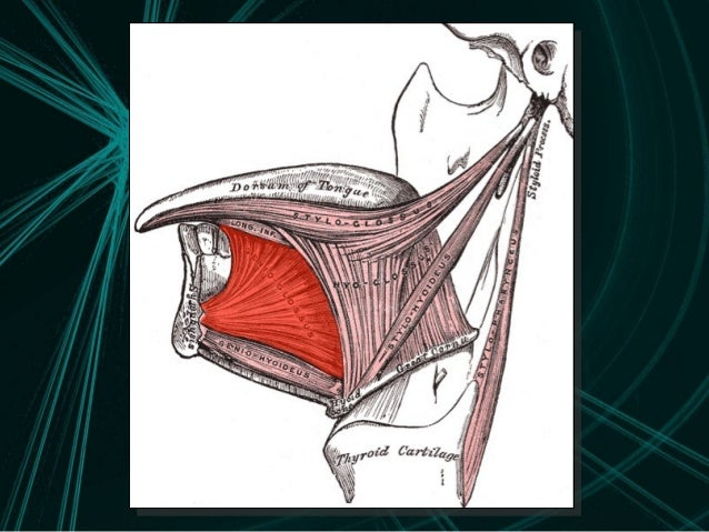 The anatomy of the tongue