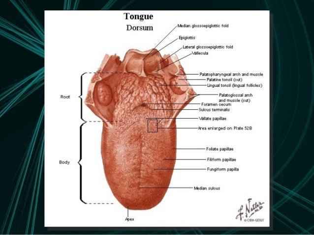 Tongue Anatomy Ukrandiffusion