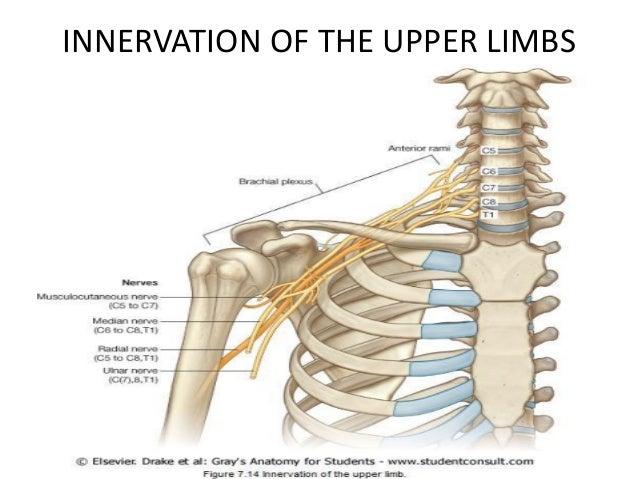 Anatomy Of The Upper Extremities Grays