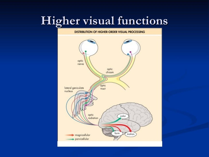 The Magnocellular visual pathway BrightStar Learning - mandegar.info