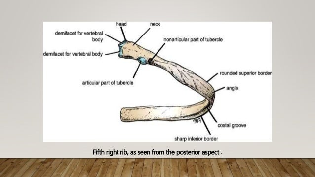 Anatomy of thoracic gage (bones)