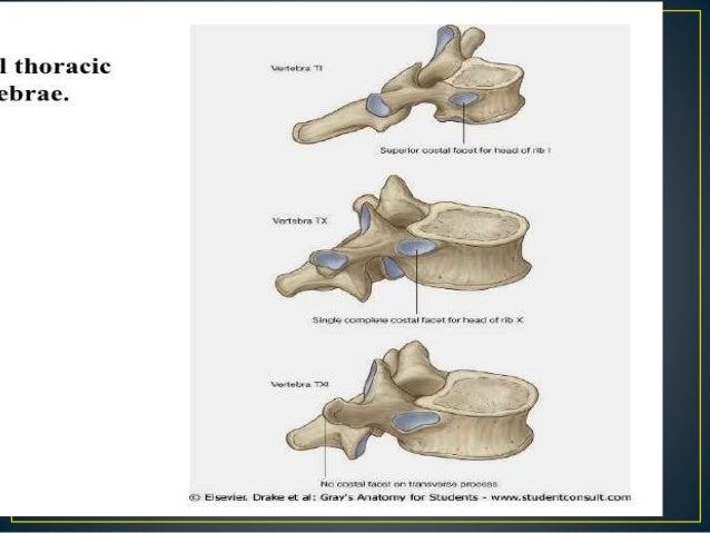 Anatomy Of Thoracic Vertebra