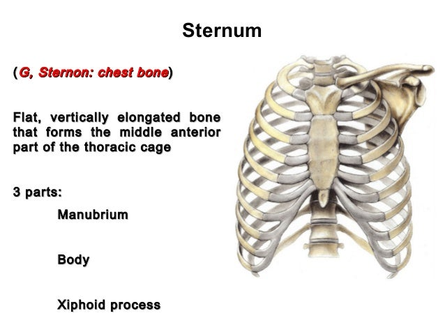 Anatomy of thorax