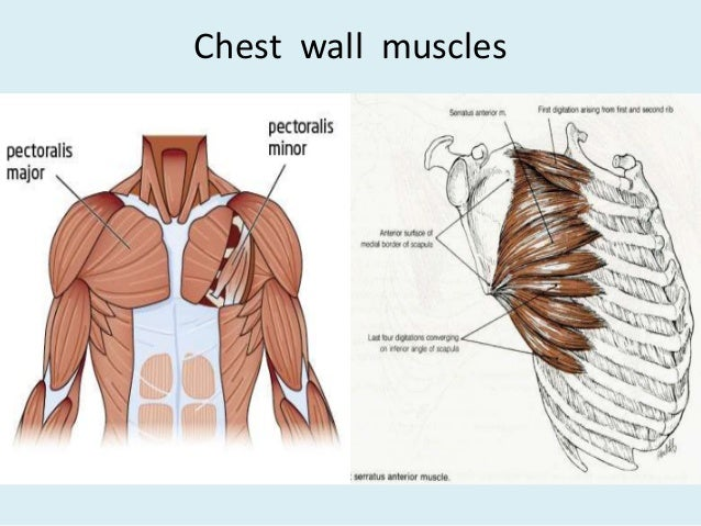 Anatomy of thorax 2 chest wall muscles 13 ccuart Choice Image