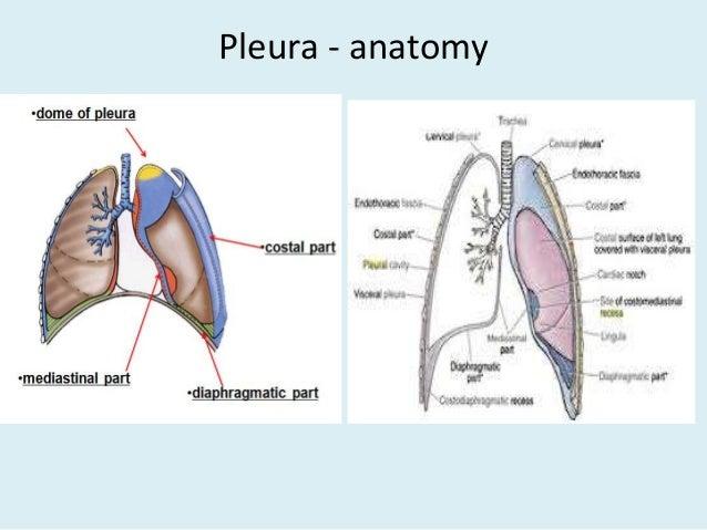 Anatomy Of Thorax 2