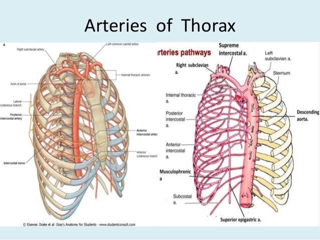 Anatomy of thorax (2)