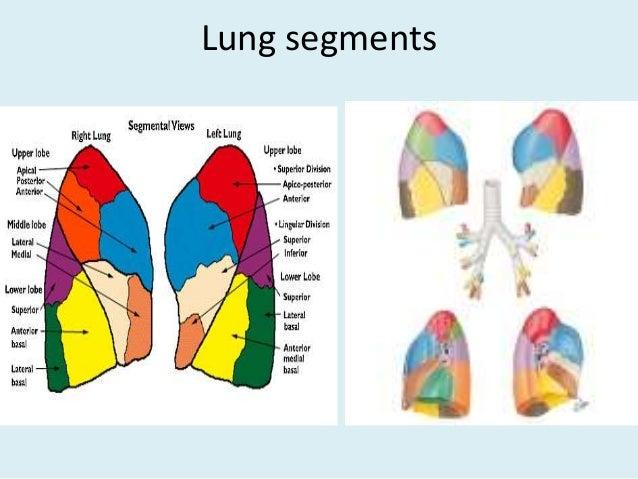Lung segments ct anatomy