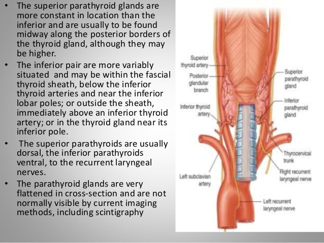 anatomy and physiology of thyroid and parathyroid gland, Sphenoid
