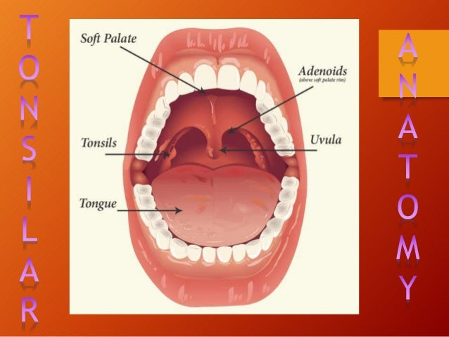 Anatomy of the throat and tonsils