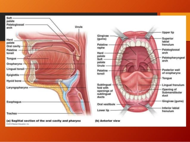 Pharyngeal Tonsil Diagram Anatomy - Search For Wiring Diagrams •