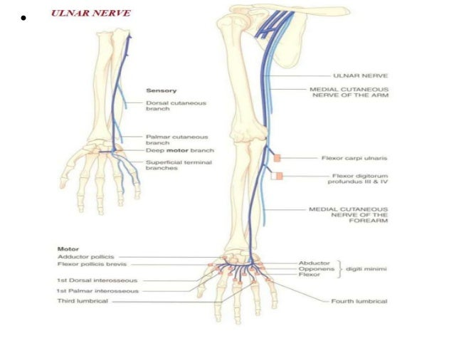 ulnar nerve - photo #45