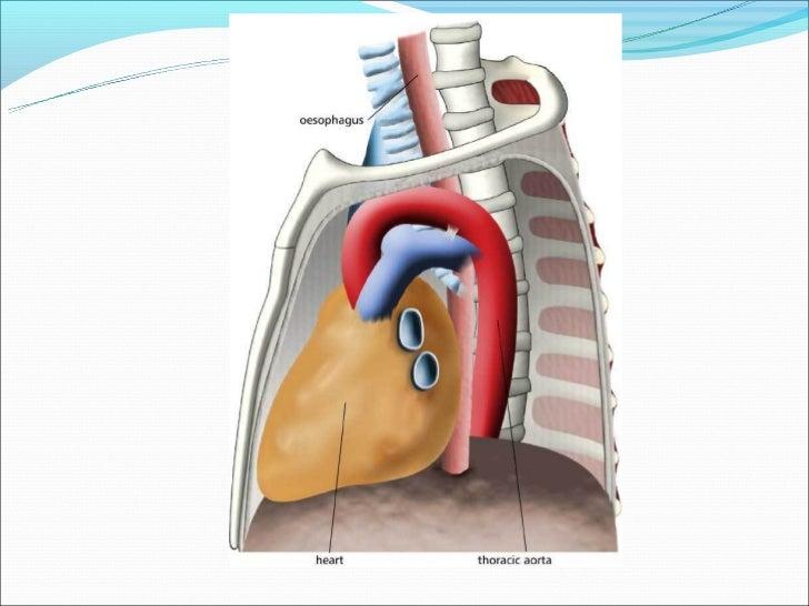 Anatomy Of Upper Gi