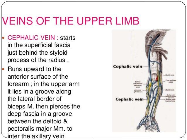 anatomy of upper limb rehan, Cephalic Vein