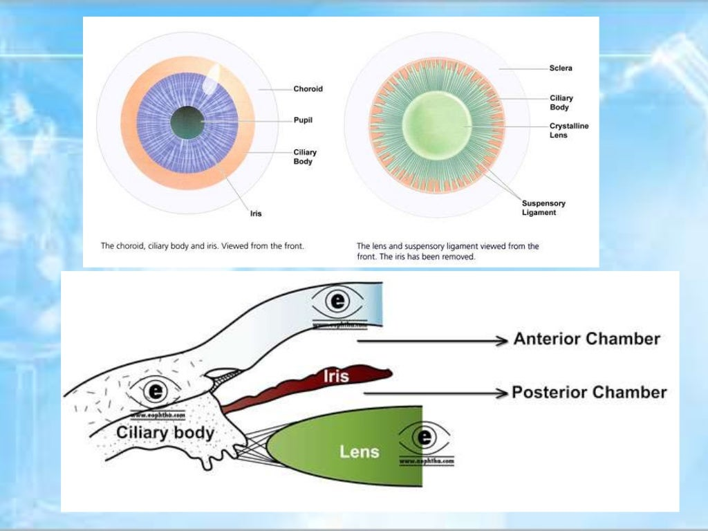 Anatomy of uvea 1555780 - togelmaya.info
