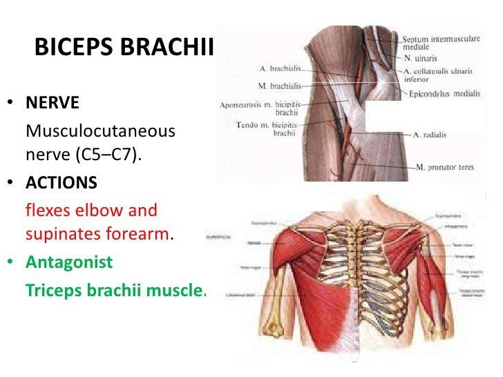 Anatomy pectoral arm02122010