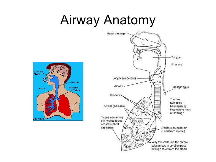 Anatomy, Physiology And Pathology Of The Lung