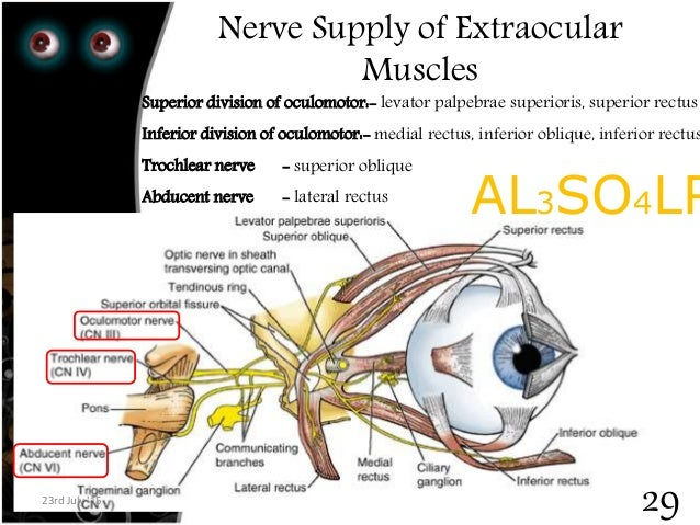 extra ocular muscles