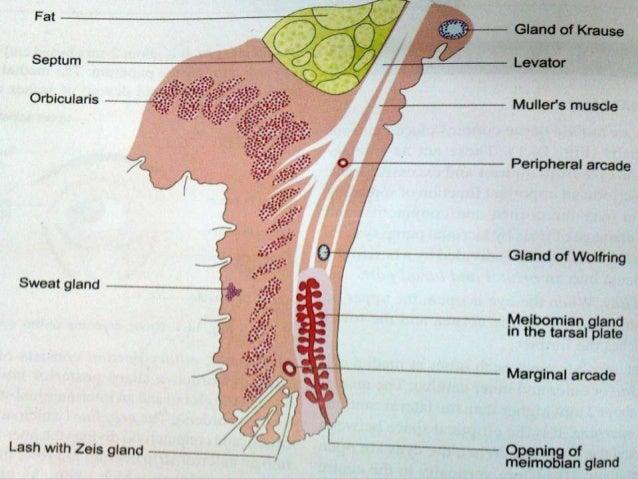 Anatomy Amp Physiology Of Eyelids