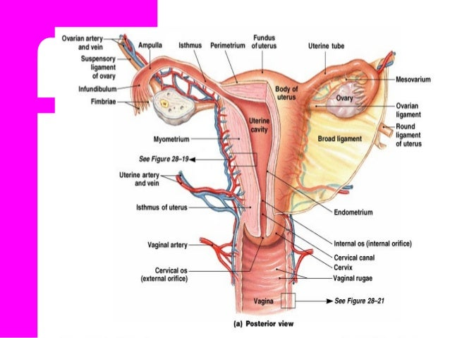 Anatomy physiology of female reproductive system