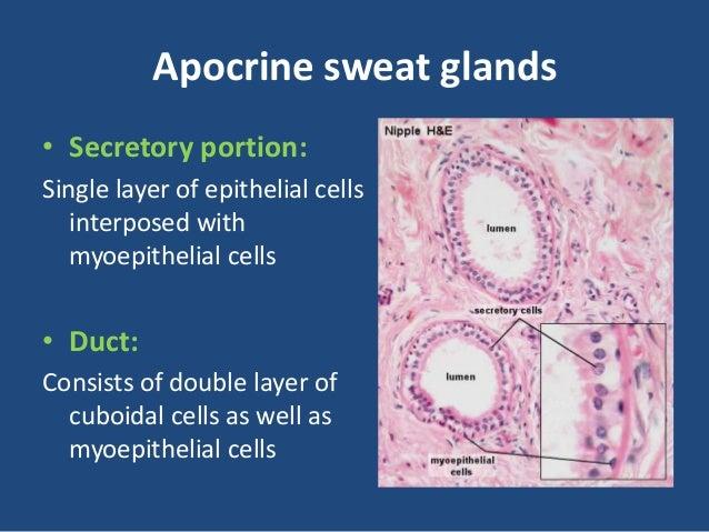 Anatomy & physiology of sweat glands, sebaceous