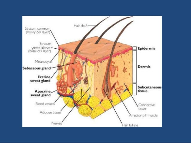 anatomy & physiology of sweat glands, sebaceous, Human Body