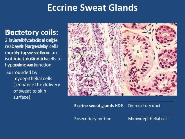 Sweat gland anatomy