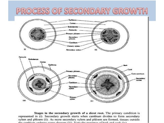 SECONDARY GROWTH IN DICOT ROOT EBOOK