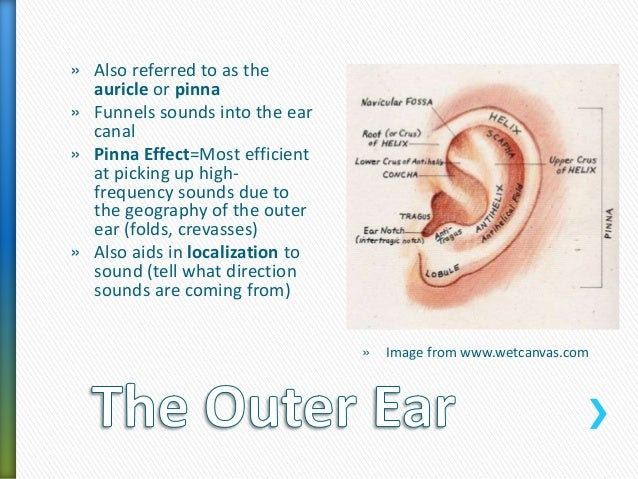 Anatomy of the Auditory System A Review – The Ear Hearing and Balance Worksheet