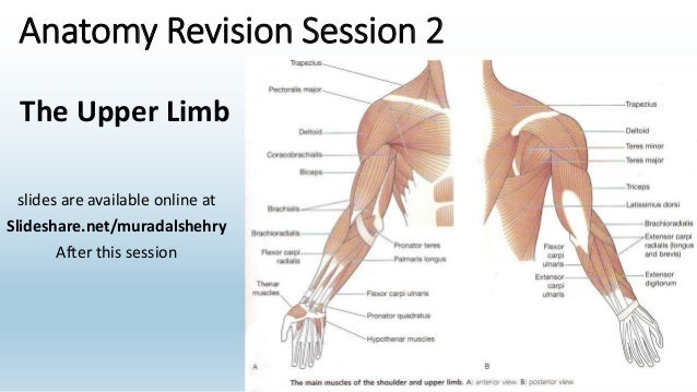 Anatomy revision 2 anatomy revision session 2 slides are available online at slidesharemuradalshehry after this ccuart Image collections