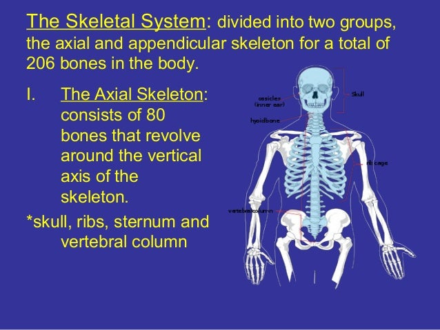 Anatomy Skeletal Muscular