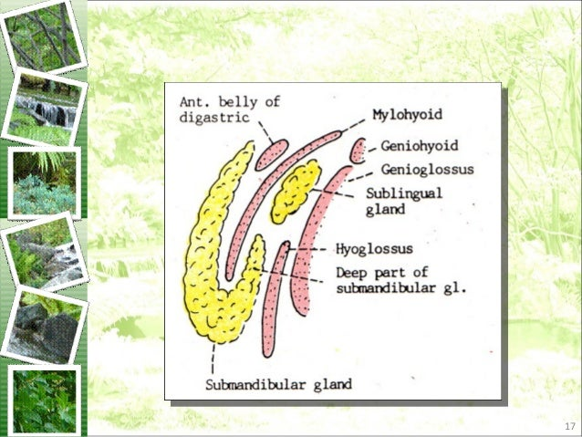 Anatomy Of Submandibular Gland