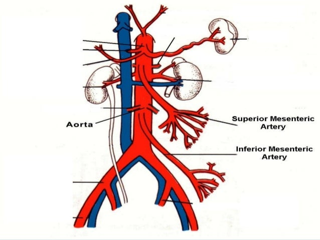anatomy superior mesenteric artery, Human Body