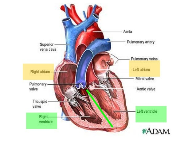 anatomy unit 2: heart anatomy & function notes, Human Body