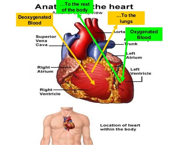 Heart anatomy function