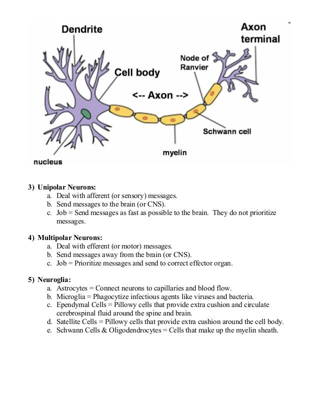 Anatomy unit 2 nervous system quiz 2 everything you need to know