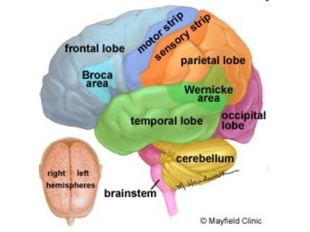 Anatomy Unit 2 Nervous System The Brain Notes
