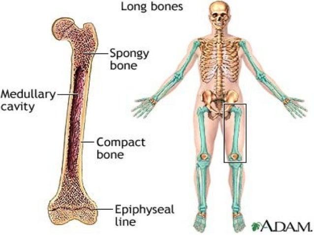 anatomy unit 4 notes: bone types, function, the skeleton, Skeleton
