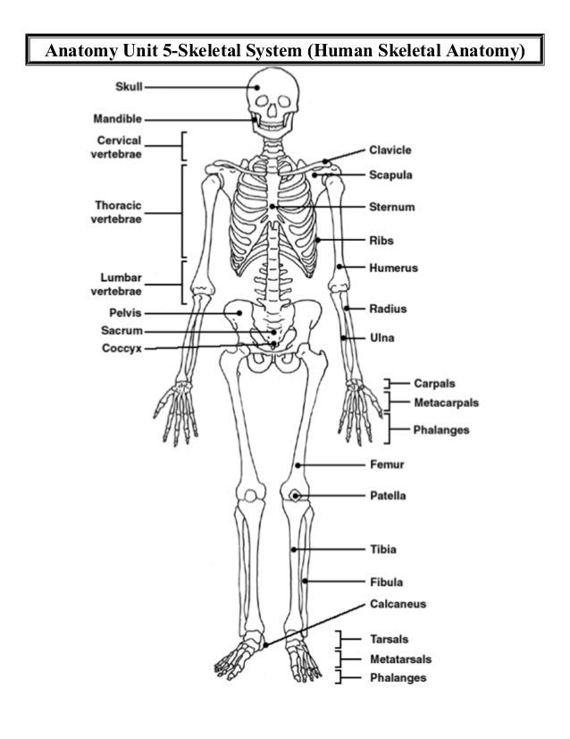 Anatomy Unit 5 Skeletal And Muscular Systems Human Skeletal Anatomy D