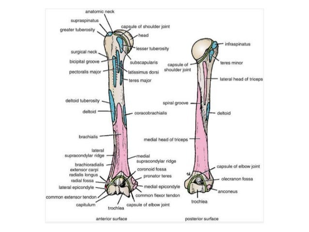 Anatomy upper limb scapulohumeral 24112010