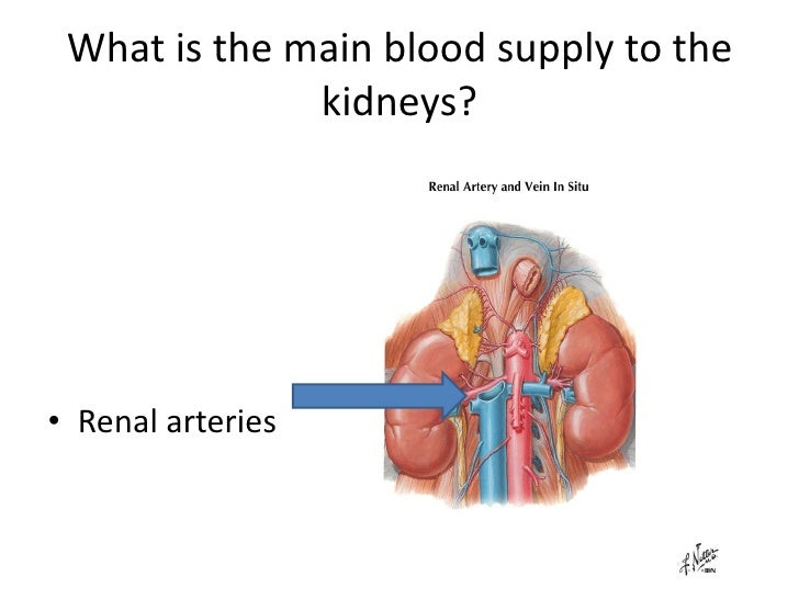 Anatomy Urinary System