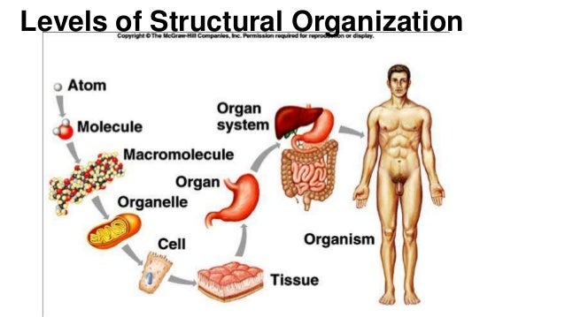 Anatomy And Physiology Introduction To The Human Body