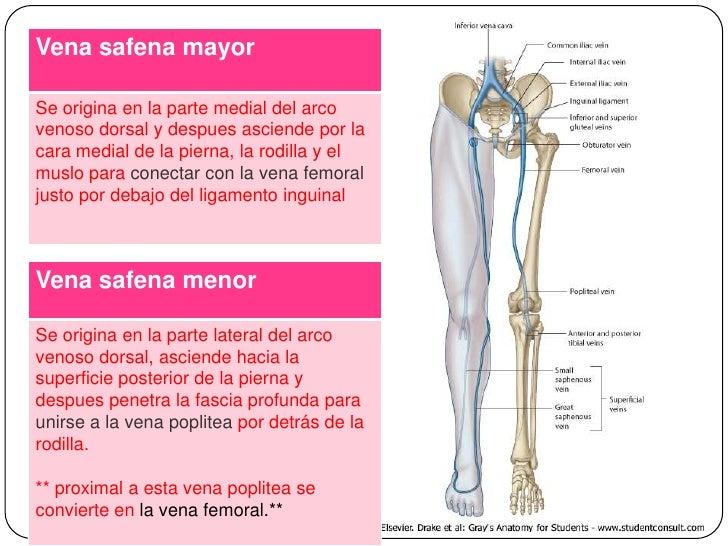 Moderno La Vena Safena Externa Bosquejo - Anatomía de Las ...